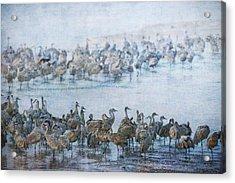 Sandhill Cranes Texture Acrylic Print
