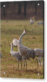 Acrylic Print featuring the photograph Sandhill Delight by Shari Jardina