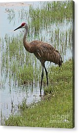 Sandhill In The Marsh Acrylic Print