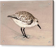 Sandpiper On Sand Acrylic Print by Heather Mitchell