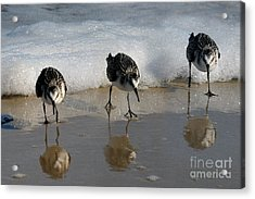 Acrylic Print featuring the photograph Sandpipers Feeding by Dan Friend