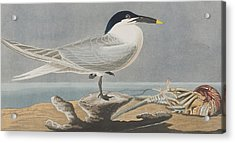 Sandwich Tern Acrylic Print by John James Audubon