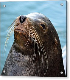 Santa Cruz Dude - Sea Lion Acrylic Print