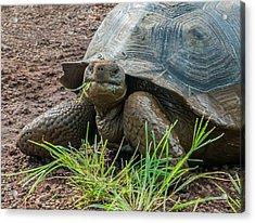 Santa Cruz Tortoise Grass Feast Acrylic Print by Harry Strharsky