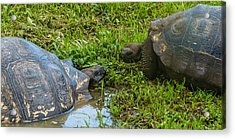 Santa Cruz Tortoise Meeting Acrylic Print by Harry Strharsky