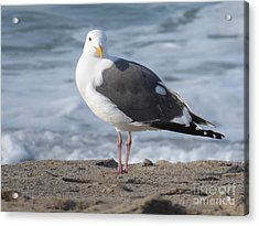 Santa Monica Seagull Acrylic Print by Margaret Brooks
