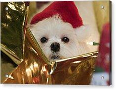 Santa Paws Acrylic Print