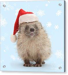 Santa's Prickly Pal Acrylic Print