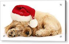 Santa's Sleepy Spaniel Acrylic Print