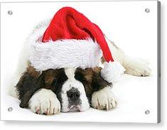 Santa's Snoozing Saint Bernard Acrylic Print