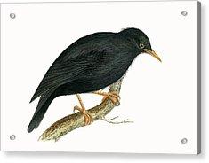 Sardinian Starling Acrylic Print by English School