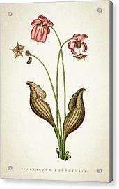 Sarracena Canadensis Botanical Print Acrylic Print