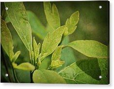 Sassafras Tree Acrylic Print
