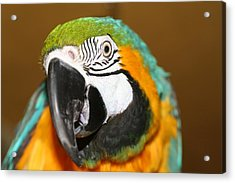 Acrylic Print featuring the photograph Sassy Blue And Gold Macaw by Diane Merkle