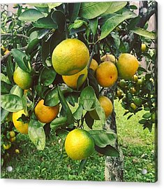 Satsumas..we Wait All Year For These Acrylic Print