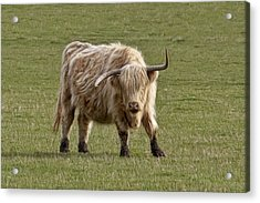 Sauvie Island Cow Acrylic Print