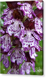 Savage Orchid 2 Acrylic Print by Jean Bernard Roussilhe