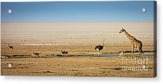Savanna Life Acrylic Print by Inge Johnsson