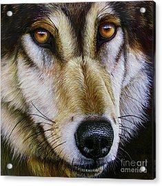 Save The Wolf Acrylic Print by Jurek Zamoyski