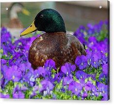 Say Quack Acrylic Print