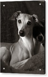 Say What Italian Greyhound Acrylic Print by Angela Rath