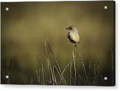 Say's Flycatcher Acrylic Print