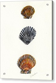 Scallop Shell Trio Acrylic Print by Sheryl Heatherly Hawkins