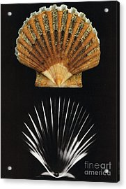 Scallop Shell X-ray Acrylic Print by Photo Researchers