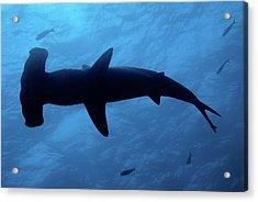 Scalloped Hammerhead Shark Underwater View Acrylic Print by Sami Sarkis