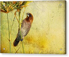 Scaly-breasted Munia Acrylic Print