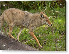 Scampering Off The Log Acrylic Print by Adam Jewell