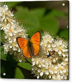 Acrylic Print featuring the photograph Scarce Copper 2 by Jouko Lehto