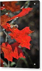 Scarlet Autumn Acrylic Print
