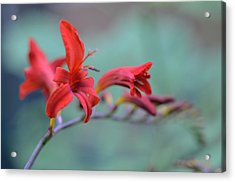 Scarlet Blooms Acrylic Print
