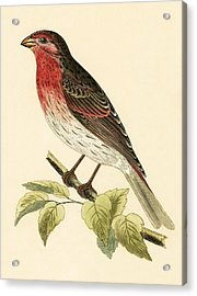 Scarlet Bullfinch Acrylic Print