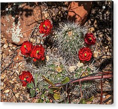 Scarlet Cactus Blooms Acrylic Print