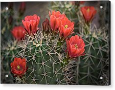 Acrylic Print featuring the photograph Scarlet Hedgehog Cactus  by Saija Lehtonen