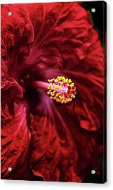 Scarlet Hibiscus Acrylic Print by Jessica Jenney