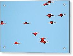 Scarlet Ibis At Caroni Swamp Acrylic Print