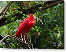 Scarlet Ibis Acrylic Print by B.G. Thomson