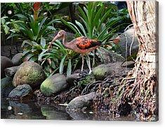 Scarlet Ibis Birds 02 Acrylic Print by Bruce Miller