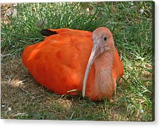 Scarlet Ibis Youth Acrylic Print