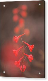 Acrylic Print featuring the photograph Scarlet Larkspur Clouds by Alexander Kunz