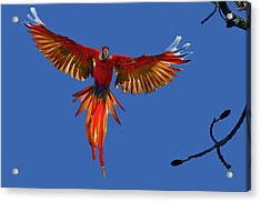 Scarlet Macaw On The Osa Peninsula Acrylic Print