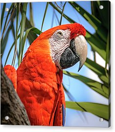 Acrylic Print featuring the photograph Scarlet Macaw by Steven Sparks