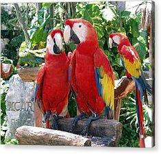 Scarlet Macaws Acrylic Print by Ellen Henneke
