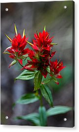 Scarlet Red Indian Paintbrush Acrylic Print