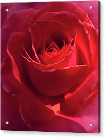 Scarlet Rose Flower Acrylic Print by Jennie Marie Schell