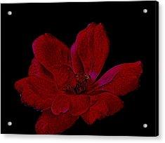 Scarlet Rose Acrylic Print by Marsha Heiken