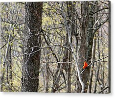 Scarlet Tanager Male Facing Acrylic Print by Donald Lively